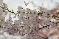 Schöne rosa Jahreszeit der Kirschblüte im Frühjahr stockfotografie