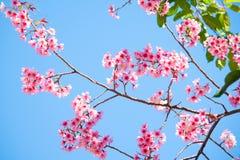 Schöne rosa Kirschblüte stockfoto