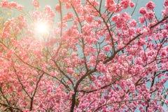 Schöne rosa Kirschblüte Kirschblüte blüht mit einer Sonne, die über einem blauen Himmel hinaufklettert Lizenzfreie Stockfotografie