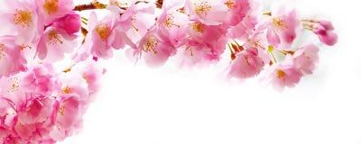 Schöne rosa Kirschblütenniederlassung, Kirschblüte blüht auf Weiß Stockfoto