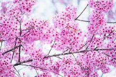 Schöne rosa Kirschblütenweichzeichnung Klare Farbe von Kirsche B Stockfotografie