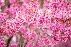 Schöne rosa Kirschblütenweichzeichnung Klare Farbe von Kirsche B Lizenzfreies Stockfoto
