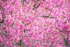 Schöne rosa Kirschblütenweichzeichnung Klare Farbe von Kirsche B Stockfoto