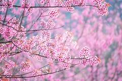 Schöne rosa Kirschblütenweichzeichnung Klare Farbe von Kirsche B Lizenzfreie Stockfotos