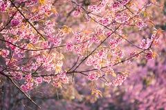 Schöne rosa Kirschblütenweichzeichnung Klare Farbe von Kirsche B Stockfotos