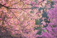Schöne rosa Kirschblütenweichzeichnung Klare Farbe von Kirsche B Lizenzfreie Stockfotografie