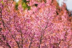 Schöne rosa Kirschblütenweichzeichnung Klare Farbe von Kirsche B Lizenzfreie Stockbilder