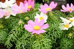Schöne rosa Kosmosblüten stockfotos
