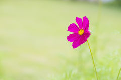 Schöne rosa Kosmosblume Lizenzfreies Stockfoto