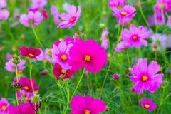 Schöne rosa Kosmosblumen lizenzfreie stockfotografie