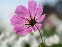 Schöne rosa Kosmosblumen im Garten Lizenzfreies Stockfoto