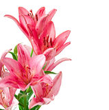 Schöne rosa Lilie Lizenzfreie Stockfotografie