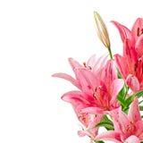 Schöne rosa Lilie Stockbilder
