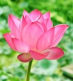 Schöne rosa Lotosblume beim Blooning lizenzfreie stockfotografie
