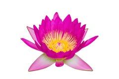 Schöne rosa Lotosblume lokalisiert auf weißem Hintergrund Stockfotografie