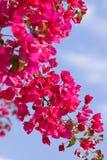 Schöne rosa magentarote Bouganvillablumen und blauer Himmel stockfotografie