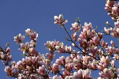 Schöne rosa Magnolien-Blumen Stockfotos