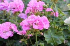 Schöne rosa Muskatellertraubenpelargonien blühen mit grünem Hintergrund im Garten Selektiver Fokus Abschluss oben verwischt Lizenzfreie Stockfotos