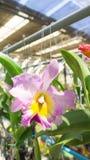 Schöne rosa Orchidee Lizenzfreie Stockfotos