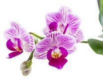Schöne rosa Orchidee. Stockfotografie