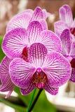 Schöne rosa Orchidee der Nahaufnahme Stockfotografie