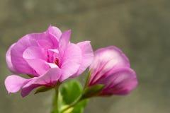 Schöne rosa Pelargonie, Pelargonie lizenzfreie stockfotografie