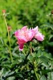 Schöne rosa Pfingstrosen im Sommerzeitgarten lizenzfreies stockbild