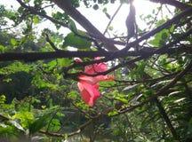 Schöne rosa Porzellanblume mit Sonne Lizenzfreie Stockfotografie