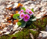 Schöne rosa Primel Stockbild