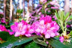 Schöne rosa Rhododendronblüten lizenzfreie stockfotos