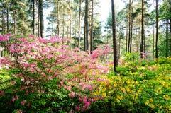 Schöne rosa Rhododendronblüten stockfoto