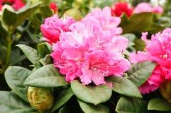 Schöne rosa Rhododendronblüten stockbild