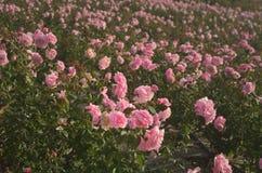 Schöne rosa rosafarbene Blumenblätter mit Tropfen Lizenzfreies Stockfoto