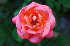 Schöne rosa Rose und grüne Blätter stockbild