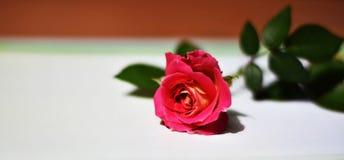 Schöne rosa Rosen auf einem unscharfen Hintergrund stockfoto