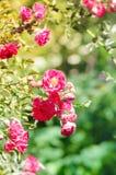 Schöne rosa Rosen, die im Garten blühen Lizenzfreies Stockfoto