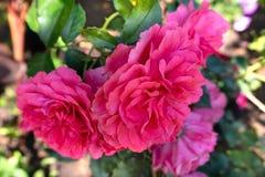 Schöne rosa Rosen im Garten lizenzfreie stockbilder
