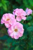 Schöne rosa Rosen im Garten Stockbilder