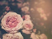 Schöne rosa Rosen mit Lichtern Weinleseart Foto und filtere Stockbild