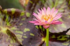 Schöne rosa Seerose Stockbilder