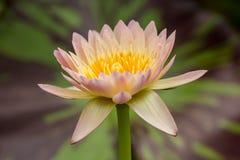 Schöne rosa Seerose Stockbild