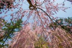 Schöne rosa ShidarezakuraWeeping-Kirschblüten in Hirosaki parken, Aomori, Tohoku, Japan Stockfotos