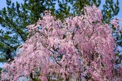 Schöne rosa ShidarezakuraWeeping-Kirschblüten in Hirosaki parken, Aomori, Tohoku, Japan Stockfoto