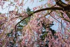 Schöne rosa ShidarezakuraWeeping-Kirschblüten in Hirosaki parken, Aomori, Tohoku, Japan Lizenzfreies Stockbild