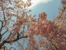 Schöne rosa ShidarezakuraWeeping-Kirschblüten in Hirosaki parken, Aomori, Tohoku, Japan Lizenzfreies Stockfoto