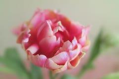 schöne rosa Tulpe Stockbild
