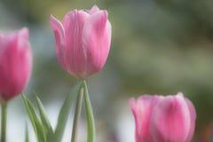 Schöne rosa Tulpe im Garten lizenzfreies stockbild