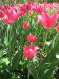 Schöne rosa Tulpen auf grünem Blatthintergrund am sonnigen Frühlingstag im Park lizenzfreie stockbilder