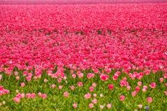 Schöne rosa Tulpen während des sonnigen Tages im Sommer Stockfotografie