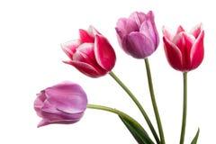 Schöne rosa und lila Tulpenblume lokalisiert auf einem Weiß Lizenzfreie Stockfotos